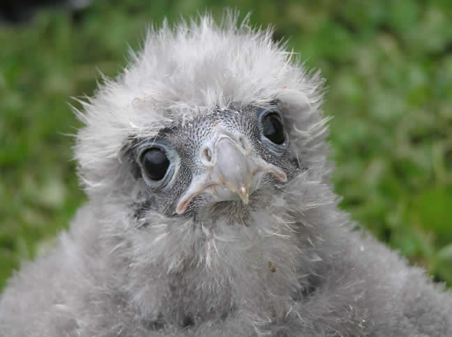 head of falcon chick