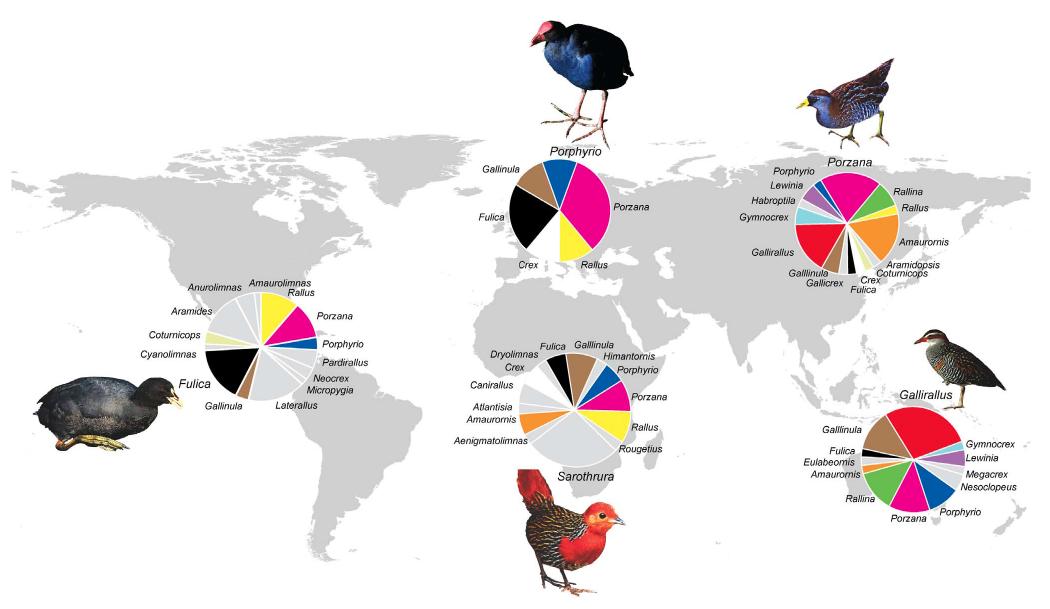 global diversity of rail genera